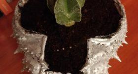 Maceta para cactus reutilizando caparazón de centollo gallego